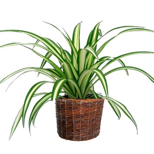 les plantes grasses d int rieur le chlorophytum. Black Bedroom Furniture Sets. Home Design Ideas